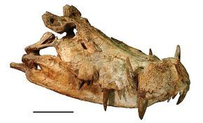 (Skull of Kaprosuchus saharicus) is an extinct genus of mahajangasuchid crocodyliform. It is known from a single nearly complete skull collected from the Upper Cretaceous Echkar Formation of Niger.