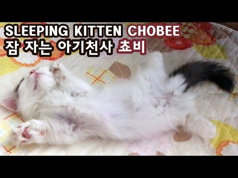 Chobee, an adorable Munchkin kitten is the cutest while sleeping. No matter what…