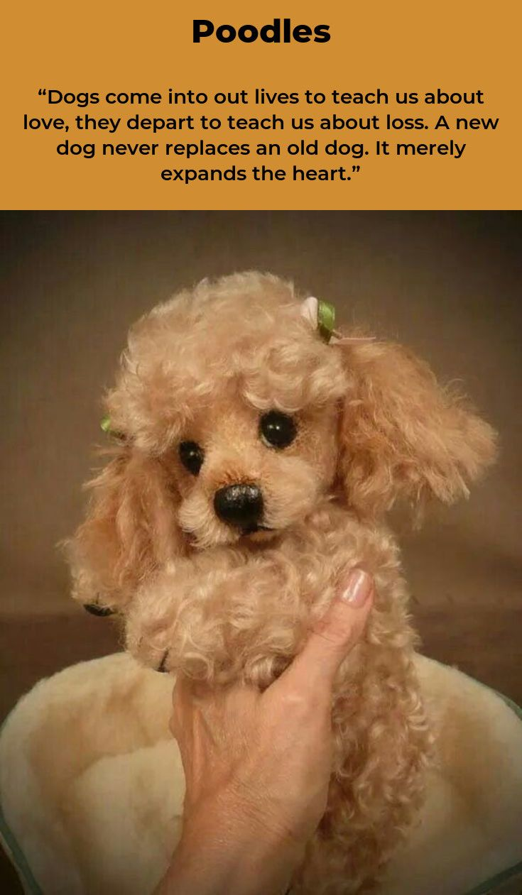 Poodles Smart Active And Proud Poodle Puppy Poodle Poodle Grooming
