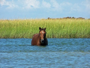 """""""The 100-plus wild horses of the Crystal Coast's Shackleford Banks descended (depending on whom you ask) from shipwrecked Spanish steeds or 19th-century Carolinians. They're the masters of this nine-mile isle in the National Park Service's Cape Lookout National Seashore."""": 100 Plus Wild, Wild Stallion, Shipwrecked Spanish, Pretty Girl, National Parks, Spanish Steeds, Place, Wild Horses, North Carolina"""