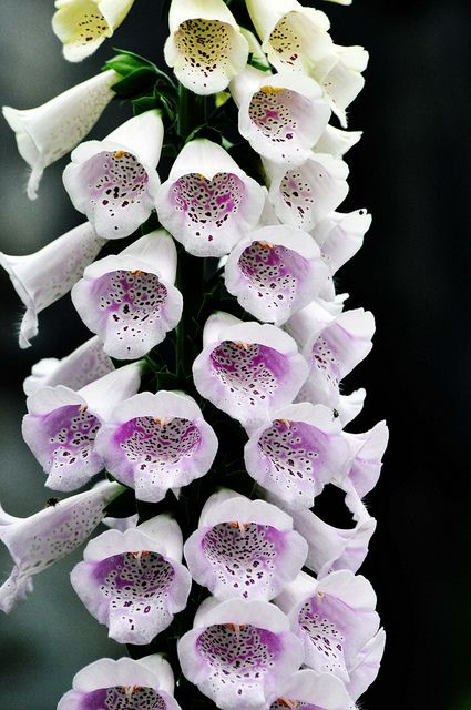 FOXGLOVE/FAIRY THIMBLES: Stateliness, youth.