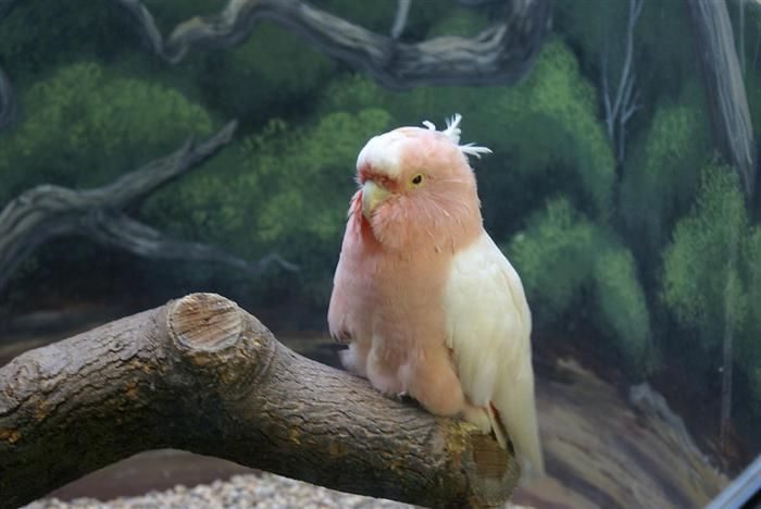 old Animals| This male Major Mitchell's Cockatoo,residing at Brookfield Zoo near Chicago,is believed to be the oldest member of his species alive at the age of 81....