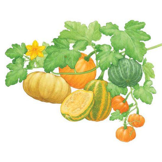 Growing your own pumpkins is as easy as pie! Learn when to plant pumpkins and how to harvest, cure and cook incredibly diverse pumpkin varieties. From fairy tales to the Thanksgiving table, the pumpkin has played an important role in our cultural and gastronomical past.data-pin-do=