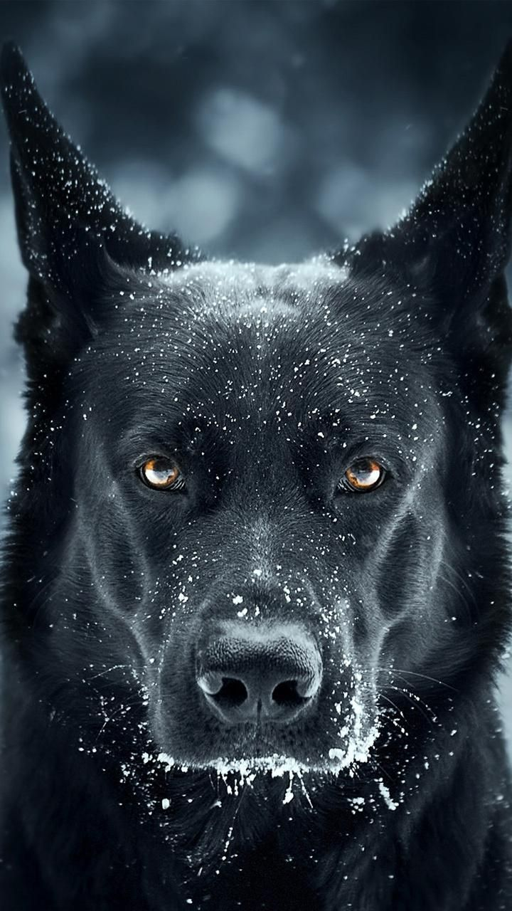 Download Black Dog Wallpaper Now Browse Millions Of Popular Wallpapers And Ringtones On Zedge And Personalize Your Phone To Suit You Doberman Zhivotnye Ovcharka