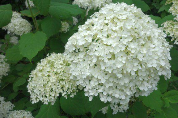 Amerianischer Schneeball #pflanzen #blumen #garten #flowers #plants #garden #pics #royaltyfree