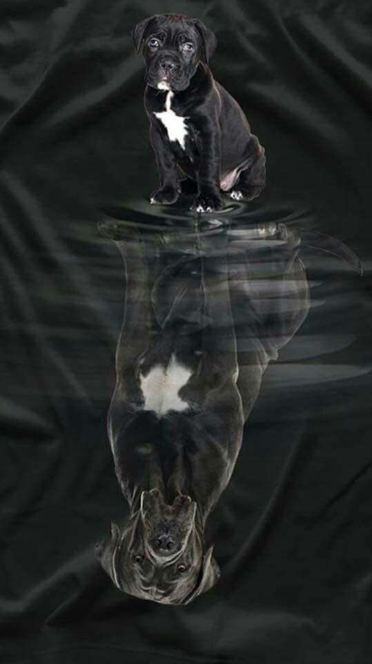 From ' The Cane Corso  puppy Club of America '