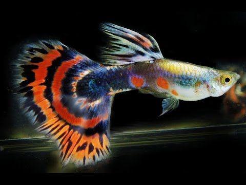 Hasil carian imej untuk cute guppy fish
