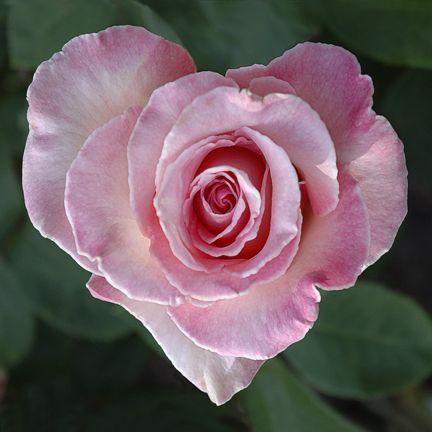Gorgeous pink rose shaped like a heart! <3