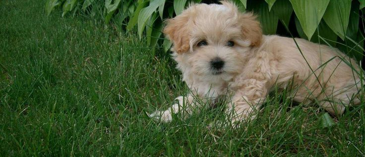 """De Maltipoo is een kruising van twee rassen: De <a href=""""http://www.startpunthonden.nl/hetras/22/Maltezer"""">Maltees</a> en de <a href=""""http://www.startpunthonden.nl/hetras/24/Poedel"""">Poedel</a>. Ze worden vaak aangeduid als een """"designer hond"""" en zijn populaire metgezellen en therapie honden geworden"""