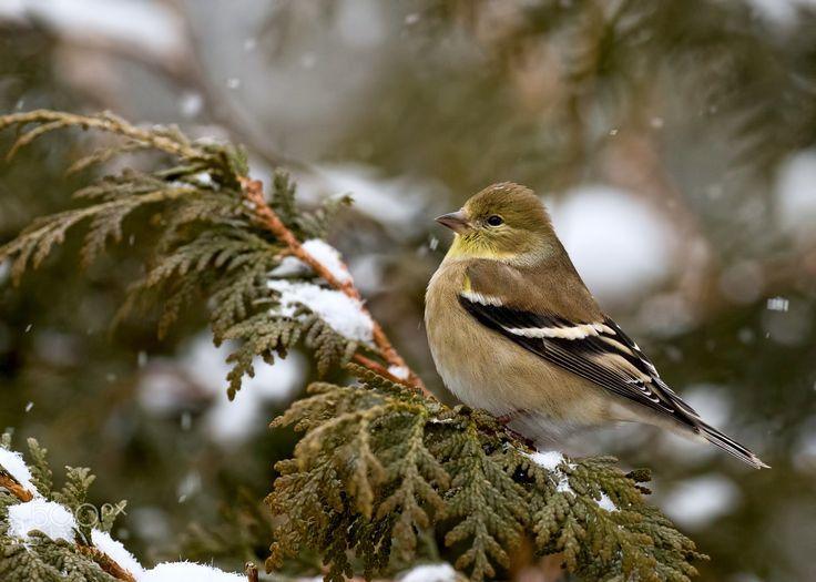 American Goldfinch in winter plumage ❖ Chardonneret jaune en plumage d'hiver - American Goldfinch in winter plumage ❖ Chardonneret en plumage d'hiver  Hope you are all well and had a great week-end.  J'espère que vous allez bien et avez passé un bon week-end.