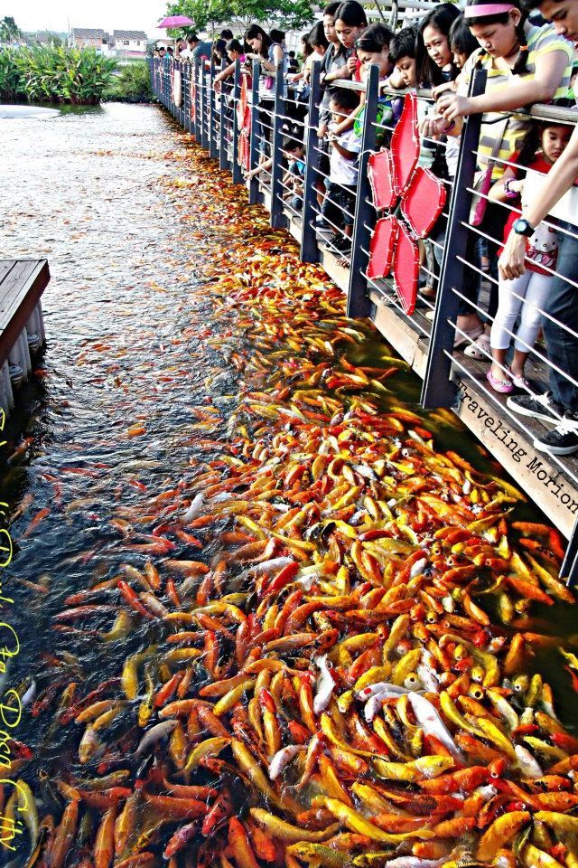 91 best images about being koi on pinterest for Japan koi wild