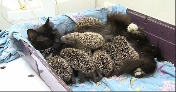 VIDEO: Kind-hearted Cat Becomes The Foster Mom of 8 Baby Hedgehogs Who Lost Their Parents!
