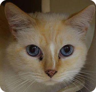 Denver, CO - Siamese. Meet Butter, a cat for adoption. http://www.adoptapet.com/pet/16815135-denver-colorado-cat