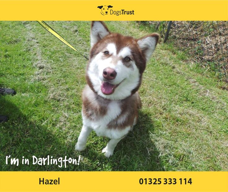Hazel at Dogs Trust Darlington is a very pretty girl, and is also quite a character! She is very lively and can get quite giddy and bouncy. She is a typical Husky and will suit owners who have had the breed before.