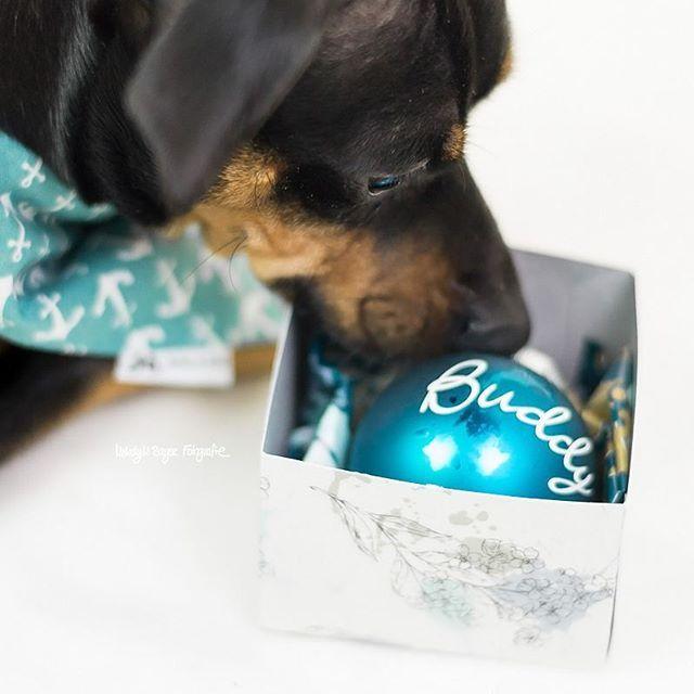 #PinscherBuddy's eigene Weihnachtskugel ❤ von Zucker und Zimt Design © Melody M. Bayer Fotografie |BUDDY&ME #miniaturepinscher #minpin #zwergpinscher #dogphotography