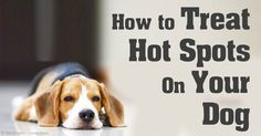 Know what causes dog hot spots and learn effective ways to treat and prevent this common health problem in dogs. http://healthypets.mercola.com/sites/healthypets/archive/2010/04/21/treating-dog-hot-spots.aspx