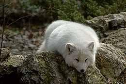 Η Αρκτική αλεπού τείνει να εκμεταλλευτεί την Lemmings, λαγούς, ερπετά, αμφίβια και περιστασιακά ευάλωτα νεογνά φώκιας που δεν είναι κοντά στο κοπάδι τους. Η Αρκτική αλεπού κάνει κρησφύγετό της πολύ κάτω από την επιφάνεια του εδάφους, και μπορεί να αντέξει εκπληκτικά θερμοκρασίες έως μείον 50 βαθμούς Κελσίου.