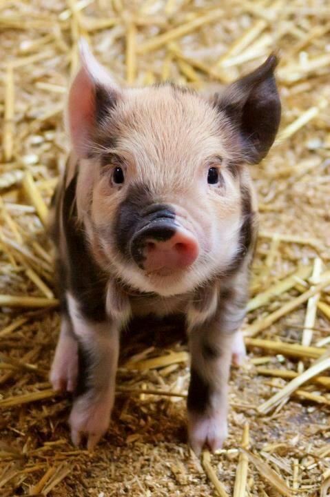 söt gris