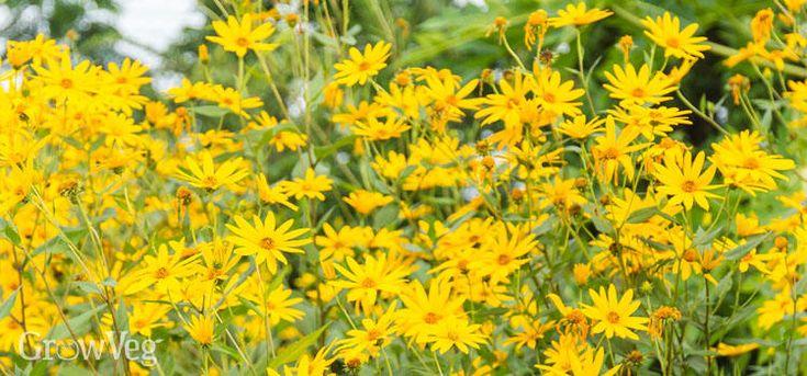 Jerusalem artichoke flowers sun chokes are the tubers from the plant! Interesting✨