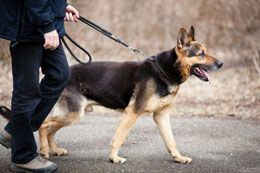 Training a German Shepherd can be as simple as it can get challenging. The training is no different from what is imparted to other canines. The breed learns quickly, and is generally very alert. Take a look at certain easy ways to train your four-legged companion, in the following Buzzle article.