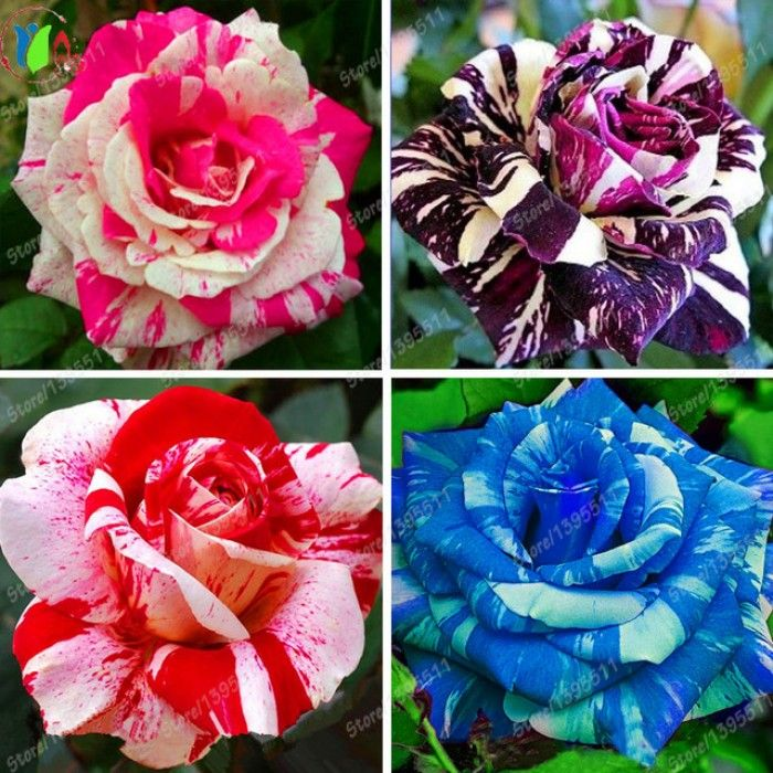 Top 5 Rare Roses From Around The World