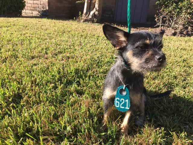 MORE THAN A NUMBER, PLEASE HELP 🙏🏻❤️🎉11/16/16-HOUSTON - SUPER URGENT - HIGH KILL FACILITY IS OVER CAPACITY -This DOG - ID#A472428 I am a female, black and tan Yorkshire Terrier mix. The shelter staff think I am about 1 year and 6 months old. I have been at the shelter since Nov 15, 2016. This information was refreshed 12 minutes ago and may not represent all of the animals at the Harris County Public Health and Environmental Services.