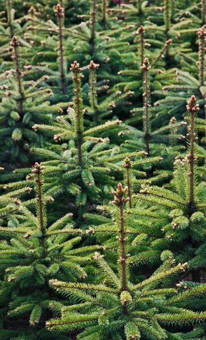 Non-Drop 3-9ft, Christmas Trees UK