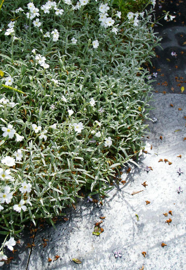 30-04 | Aanvankelijk wilde ik deze oude tuttenplant direct uit de tuin verwijderen. Maar omdat het zo kaal zou worden liet ik 'm staan. Inmiddels ben ik heel blij met mijn Cerastium tomentosum (Viltige Hoornbloem of, zoals de Engelsen zo mooi zeggen: 'Snow-in-Summer'). Het is een supermakkelijke zilvergrijze bodembedekker die tegen temp. tot -30°C. kan. Een ideale plant aan de rand van een border of om over muurtjes te laten hangen. Bovendien blijft hij in de winter groen (eh ... grijs dus).