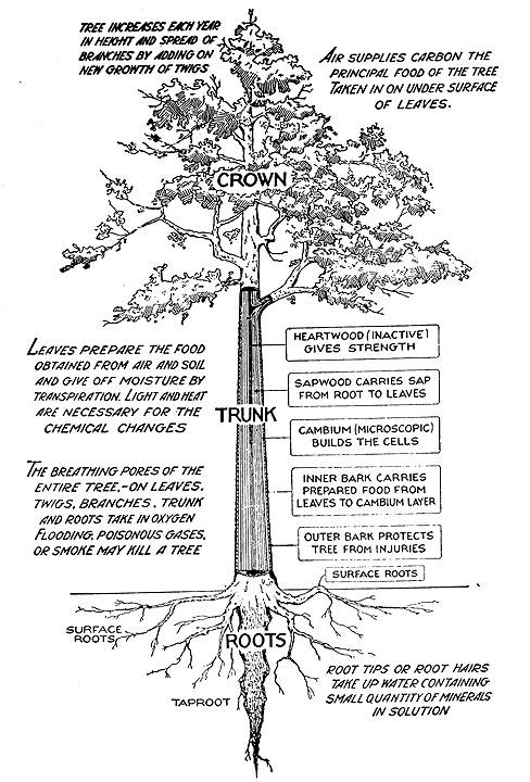 Online guide to the various parts of a tree: bark, leaves, twigs, flowers