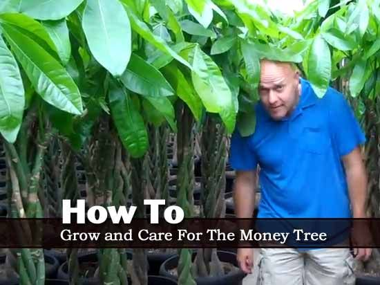 How To Grow and Care For The Money Tree