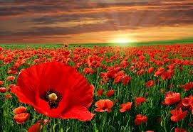 Image result for poppies flowers images