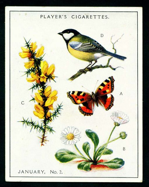 """Player's Cigarettes  """"A Nature Calendar"""" (series of 24 large cards issued in 1930) #2 January (2)"""