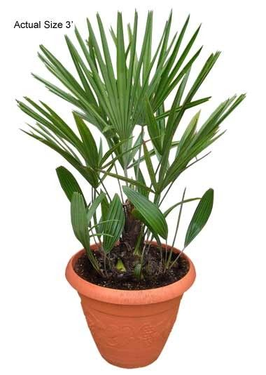 Buy cold hardy Needle Palm trees  Needle -palm Tree Small Cold HArdy Palm Trees Wholesale Retail realpalmtrees.comhttp://realpalmtrees.com/palm-tree-store/small-needle-palm-tree.html