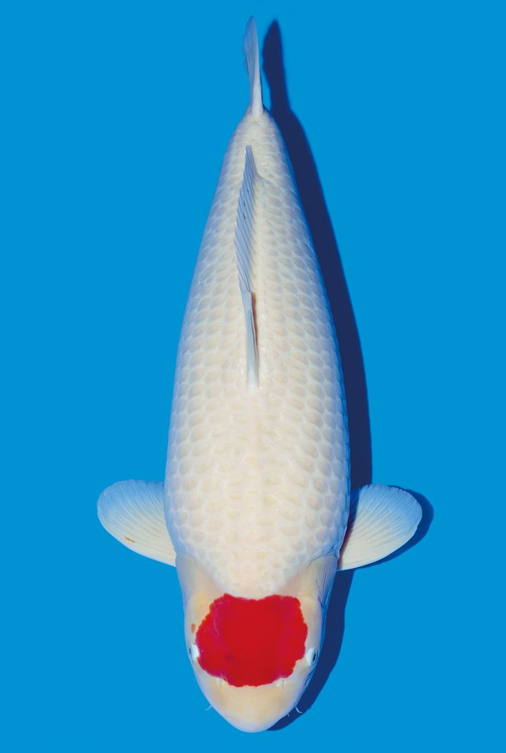 1000 images about koi varieties on pinterest fish for Carpe koi tancho