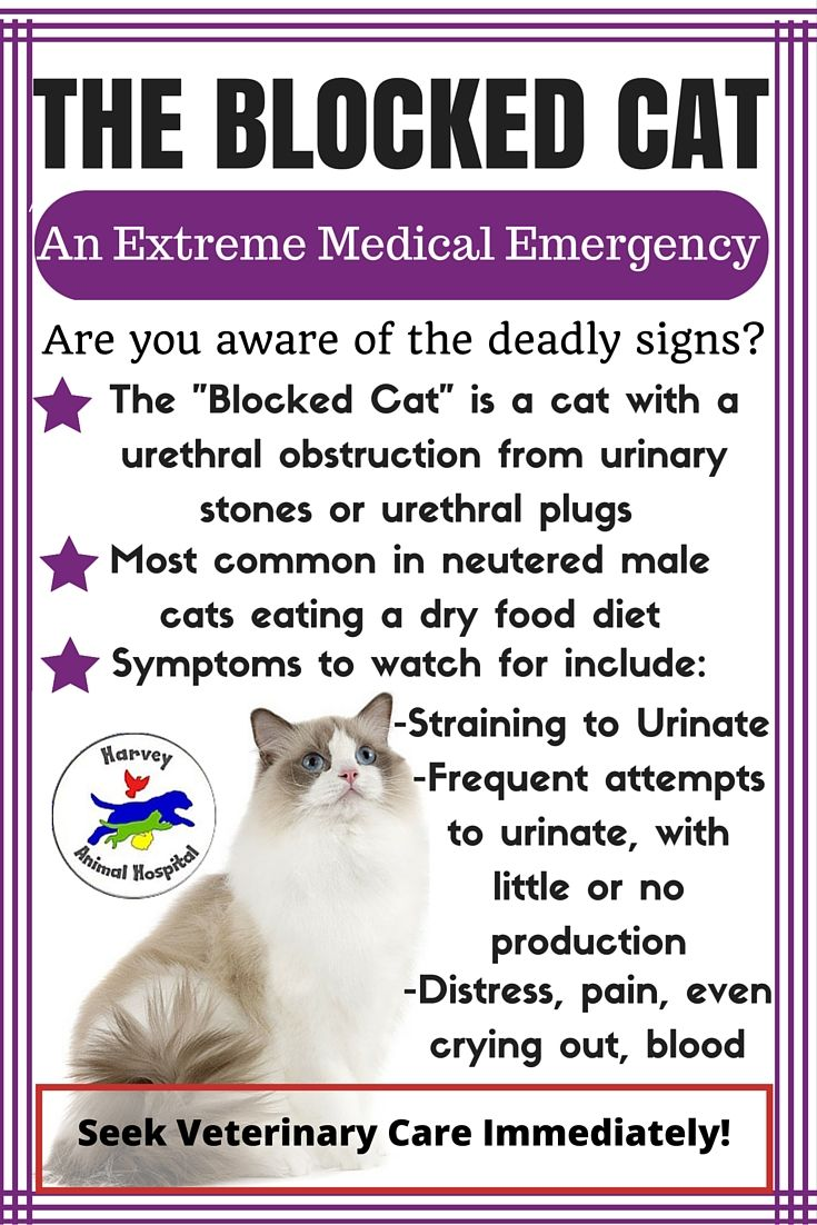 A urinary blockage is a life threatening condition. It can be fatal in as little as 24 hours and symptoms are not always noticeable until things are extremely serious. Not only is this EXTREMELY PAINFUL but the kidneys are not able to remove toxins from the blood and maintain a proper chemical balances in the body. From this the cats heart will fail as a result of electrolyte imbalance.  IF YOU NOTICE ANY OF THESE SIGNS IN YOUR CAT RUSH HIM TO THE NEAREST VETERINARY HOSPITAL!