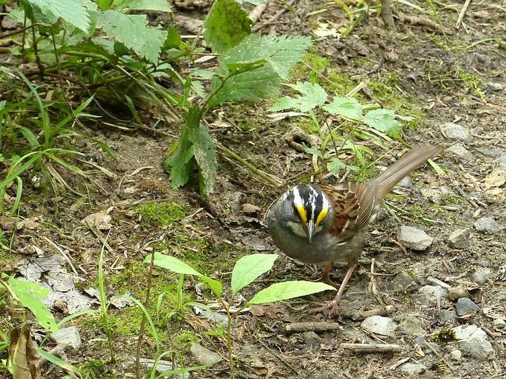 http://faaxaal.forumactif.com/t391-photo-d-oiseau-bruant-a-gorge-blanche-zonotrichia-albicollis-white-throated-sparrow