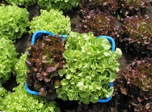 выращивание салата дома