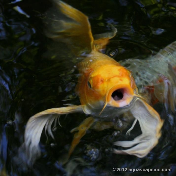 17 best images about pond fish on pinterest purpose for Koi fish water