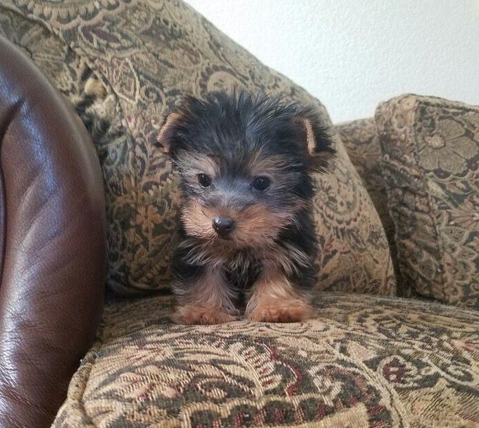 Yorkshire Terrier Puppy For Sale In Los Angeles Ca Adn 28072 On Puppyfinder Com Gender Male Age 9 Week Yorkshire Terrier Puppies Yorkshire Terrier Terrier