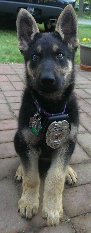 What a little beauty and future police dog...German shepherd puppy