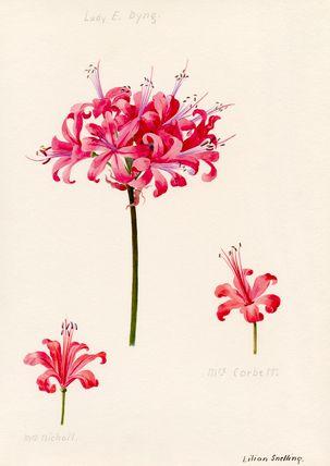 Lilian Snelling -- Nerine, Lady E. Byng. Mrs Nicholl. Mrs Corbett. -- Lilian Snelling -- Artists -- RHS Prints
