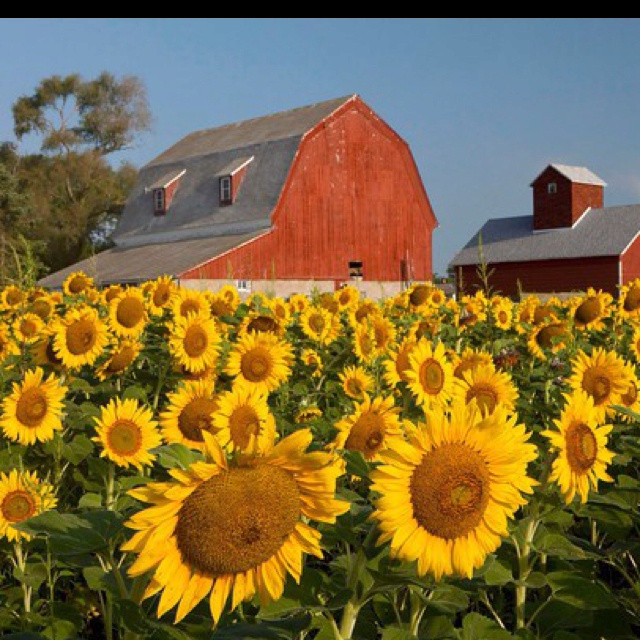 90 Best Kansas Sunflowers Images On Pinterest Sunflowers Res Life