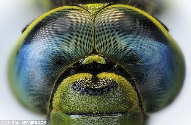 The compound eyes of a dragonfly - 'Eye' think they look like a set of goggles.