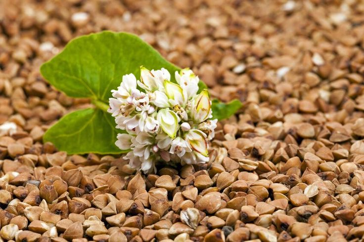 What is buckwheat? Buckwheat is a seed that has more than five thousand years of history. In terms of a food,...
