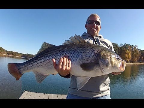 Two Huge Striped Bass Caught from a Dock