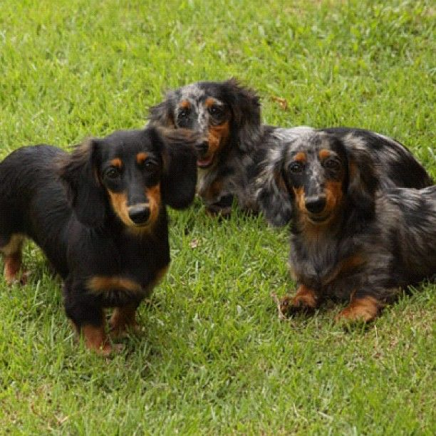 Dachshund family at Salatino's Club...