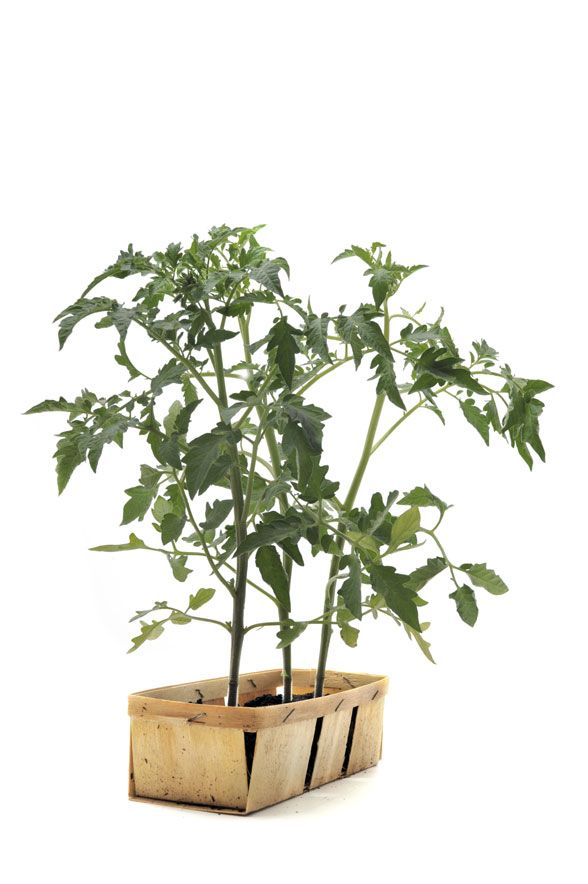 Tips for growing tomatoes indoors. Don't give up fresh tomatoes just because it's winter! http://blog.hgtvgardens.com/bring-back-that-summer-feeling-how-to-grow-tomatoes-indoors/?soc=pinterest