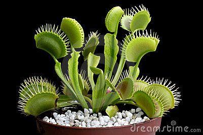 Venus flytrap - carnivorous plant by Mihai-bogdan Lazar, via Dreamstime