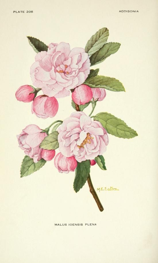Malus Ioensis Plena (Bechtel's Crab Apple). Plate from 'Addisonia' Published 1916 by New York Botanical Garden