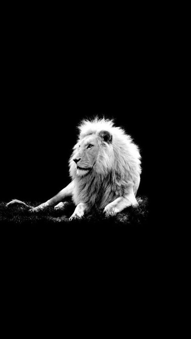 Lion Wallpaper Black And White High Quality Desktop Iphone And